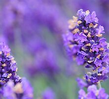 Lavender, Grosvenor Park Chester by PhillipJones