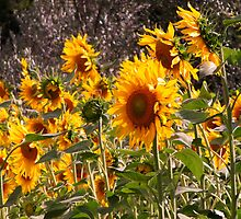 Girasole & olivo(sunflowers and olive) in Tuscany country side (italy) by bertipictures