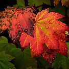 Red Vine Maple Leaves by Charles &amp; Patricia   Harkins ~ Picture Oregon