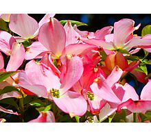 Bright Colorful Pink Dogwood Flowers art prints Baslee Photographic Print