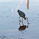 White Faced Heron, Fingal, #4 by Odille Esmonde-Morgan