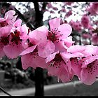 Cherry Blossoms #2 by korinna999