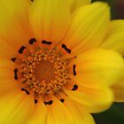 Bright Yellow Gazania Glower by Adéle Van Schalkwyk