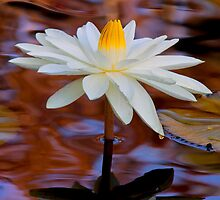 White Water Lily by John Absher