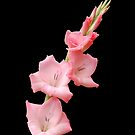 Gladioli by PinkK