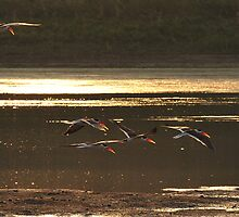 Indian Skimmers by Paul Compton