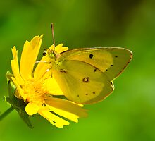 Clouded Sulphur on Lance-leaved Coreopsis by Steve Borichevsky
