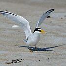 Least Tern by Steve Borichevsky