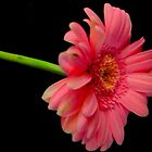 Pink Gerbera by Livvy Young