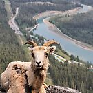 Female Mountain Bighorn Sheep by Teresa Zieba