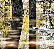Mallard Duck on Flooding River by kenspics