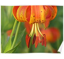 Michigan Lily Poster