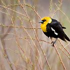 Yellow-headed Blackbird by Kim Barton