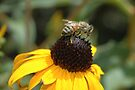 Honey Bee on a One Eyed Susan by Wviolet28