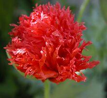 Flamboyant Poppy,Tumut,NSW,Australia. by kaysharp