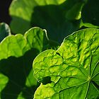 Nasturtium leaves by Catherine Davis