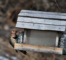 """ Northern flicker - Camillus NY "" by DeucePhotog"
