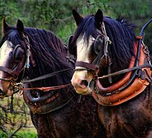 AUSSIE DRAUGHT HORSES by Helen Akerstrom Photography
