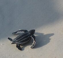 Leatherback Sea Turtle Baby! by bearladylee