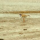 Ringed Plover by VoluntaryRanger
