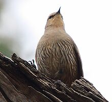 Brown Treecreeper by EnviroKey