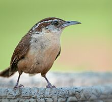 Wren on a summer Sunday afternoon  by Bonnie T.  Barry