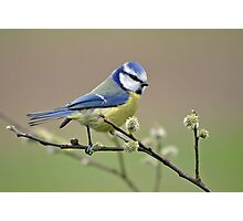 Blue tit on Pussy Willow Photographic Print