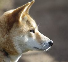 Dingo Profile by Linda Fury