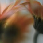 gerberas in bloom by kcoco