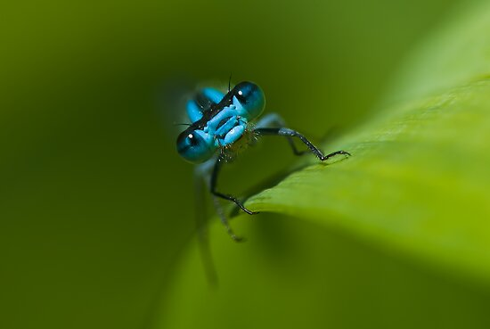 Portrait of a Blue Damselfly by Charles Dillane