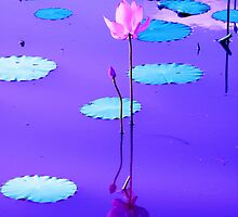 Sunset Colors Reflected On The Lily Pond by NatureGreeting Cards ©ccwri