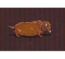 fat dachshund Photographic Print