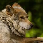 Mexican Gray Wolf by Jeff Weymier
