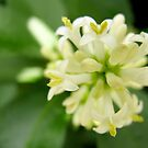 White flower clusters on flowering tree by Tracy Friesen