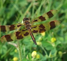 Perithemis tenera - Eastern Amberwing - Female   by Tracy Faught