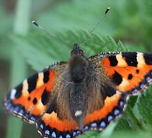 Tortoise shell butterfly by yampy