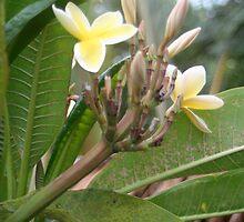 Plumeria by emxacloud