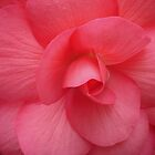 Bright Pink Begonia by Penny Alexander