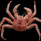 Red prickly crab by Peter Shearer