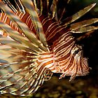 Lionfish by Peter Shearer
