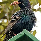 Starling by Peter Shearer