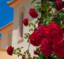 Roses. Somewhere in mainland Greece. by vadim19