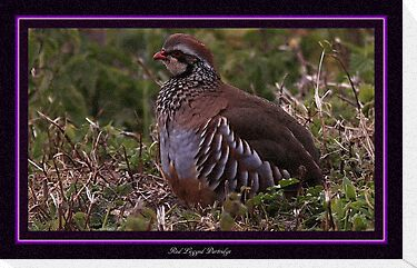 The Red Legged Partridge by snapdecisions