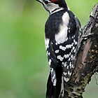 Great Spotted Woodpecker by Margaret S Sweeny