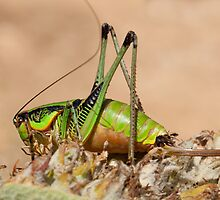 Decticus verrucivorus - Greek Wart Biter Cricket by Neil Clarke