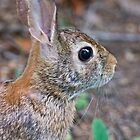 Female Eastern Cottontail  by Lee Hiller