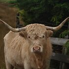 Highland Cattle on the Isle of Skye by Terry Senior