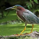 The Duckweed Is Always Greener On The Other Side / Green Heron  by Gary Fairhead
