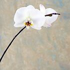 Orchid Blossom by Antaratma Images