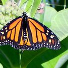 My Little Monarch ©  by Dawn M. Becker